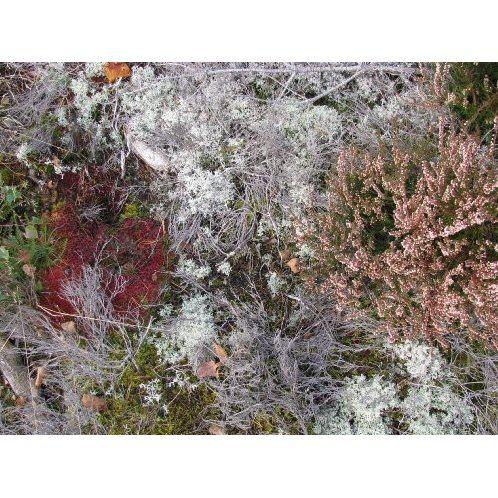 Fursaxa - Mycorrhizae Realm