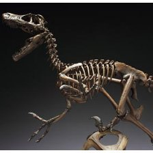 Skeleton Model Series Non Scale Pre-Painted PVC Figure: Velociraptor