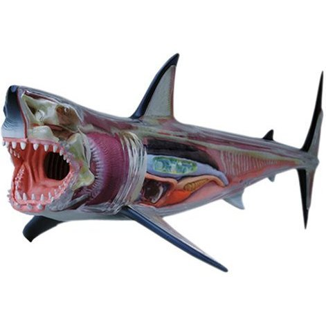 4D VISION Animal Dissection No. 02: Great White Shark Anatomy Model (Re-run)